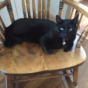 Black male netured cat only 2yr old