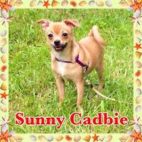 Fabuleux petit chiot Chihuahua TOY prêt à nous quitter!!!