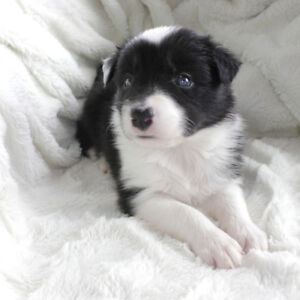 Purebred Border Collies Puppies - Early September