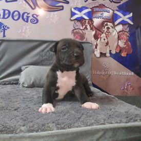 Dogs For Sale In Scotland Gumtree