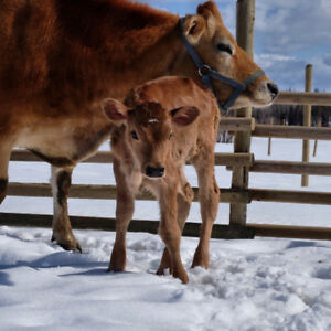 Jersey cow and heifer calf