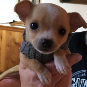Adorable Male Chihuahua