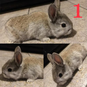 6 Flemish Dwarf X Bunnies! AVAILABLE