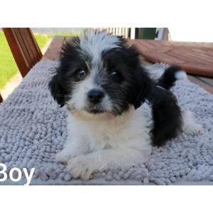 Maltese x Shitzus puppy
