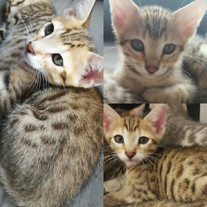 4 Pure Bred Bengal Kittens - 2 are rare Sepia Bengals