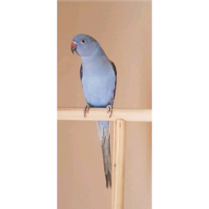 Violet Indian Ringneck female.