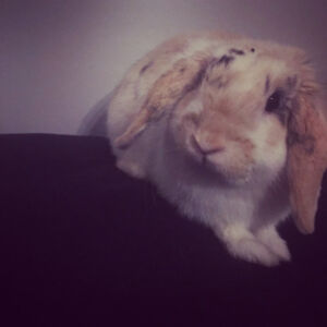 Bunny for sale 40 dollars 4 months old