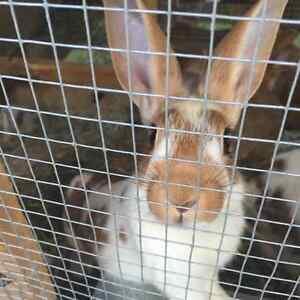 Broken New Zealand red crossed with New Zealand white rabbits