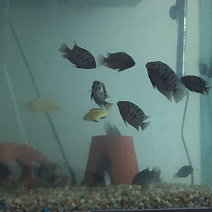 convict cichlids for sale