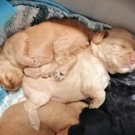 Cavapoo quality puppy boy girl