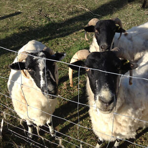Add something different to your farm - Scottish Blackface ewes