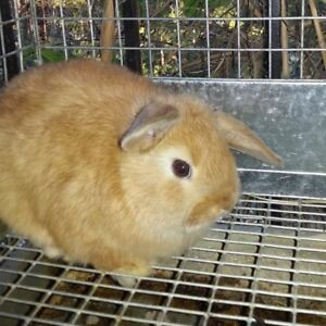 baby Holland lop buck for sale