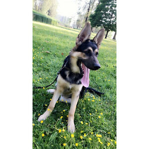 6 month black Male German Shepard