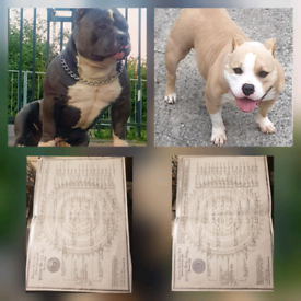 Pocket Bully Dogs Puppies For Sale Gumtree