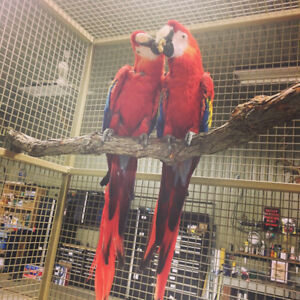 Scarlet Macaw Baby