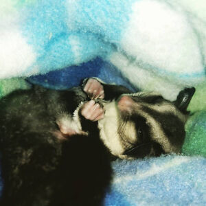 Two Male Sugar Gliders Looking for Forever Home Cambridge Kitchener Area image 7