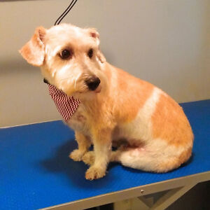 Dog Grooming in Tavistock Stratford Kitchener Area image 5