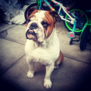 Looking to breed my male bulldog