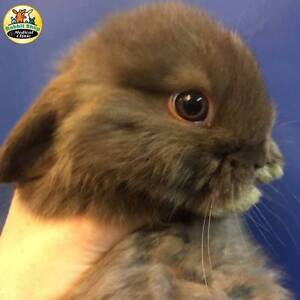 Mini lops baby rabbits Booragoon Melville Area Preview