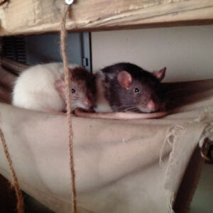 Baby rats, dunbos and rexes available.