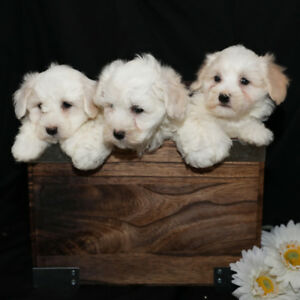 Kijiji Ontario Toronto Dogs For Sale