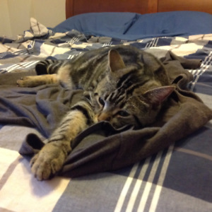 1 YEAR OLD MALE TABBY FOR REHOMING