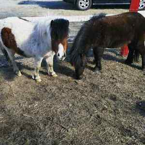 Mini horses to be rehomed