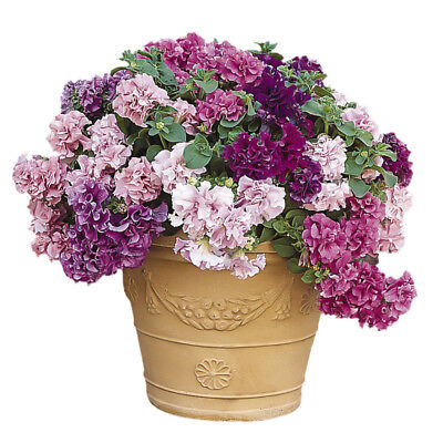 5 pcs Imported Double Petunia (mixed colors) balcony potted flower seeds (Double Mixed Colors Flower)