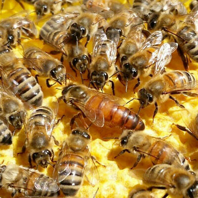 Queen Bee (Buckfast)