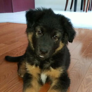 Husky Mix Puppy | Kijiji in Ontario  - Buy, Sell & Save with