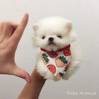 ★★ Super Tiny Micro Teacup Pomeranian looking for new home ★★