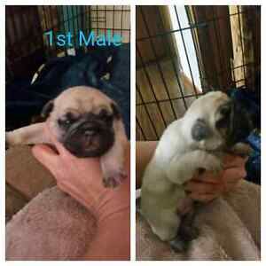 2 Male Pug Puppies Left!