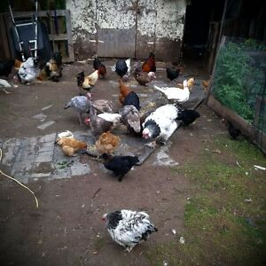 chickens and chicks for sale
