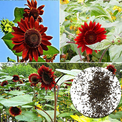 40Pcs ''Red Sun'' Sunflower Seeds Fortune Flower Seeds Garden Yard Plant Decor