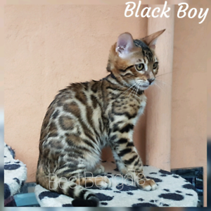 Bengal kitten with excellent contrast / desexed and ready to go