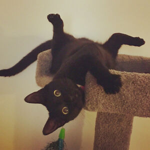 Matilda - Lost Female Cat - Black Shorthair