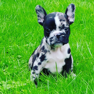 Exotic rare  Merle French bulldogs