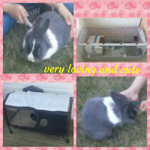 LIONHEAD 3 YEAR OLD LITTER TRAINED RABBIT FOR SALE!
