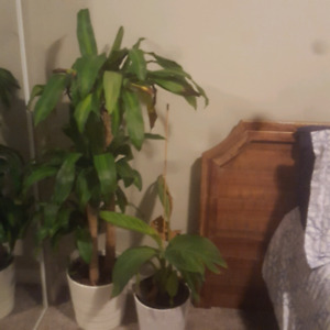 Large tropical plants for sale
