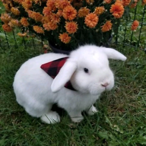 Pure bred holland lop