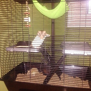 Pet Rats Free To Good Home