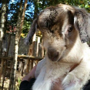 Goat Wether (fixed male) for sale