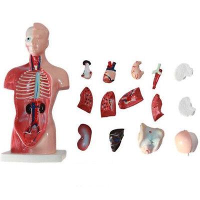Usa 28cm Pvc Human Skeleton Anatomical Model Anatomy Skull Sculpture Body Muscle