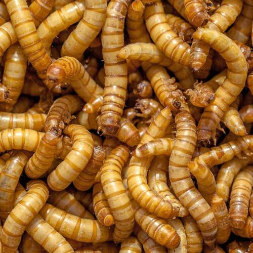 Live Giant Mealworms 100 to 5000 and FREE SHIPPING