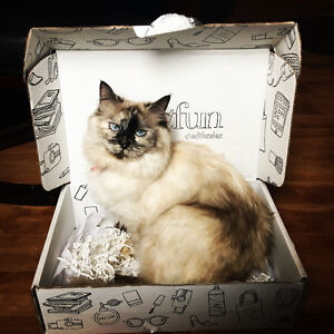 Looking for male ragdoll or Himalayan cat