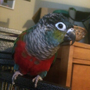 Crimson Bellied Conure, Cage, and Toys