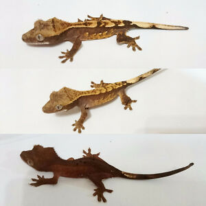 Crested Geckos ready for their new homes!