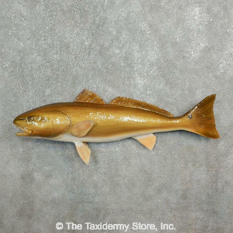 #17777 P+   Red Fish Saltwater Taxidermy Fish Mount