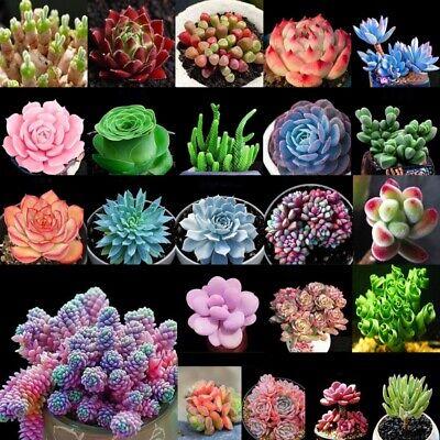 t 100Samen Lithops Lebende Steine Pflanzen Kaktus Home Dekor (Kaktus Dekor)
