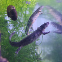 Looking for something really fun! Try our Spanish ribbed newts